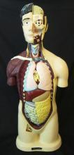 Nystrom Anatomical Male Torso
