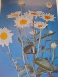 1960 BEAUTIFUL Daisy Flowers