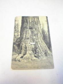 1910's Jumbo Big Tree,Near Santa Cruz,Cali