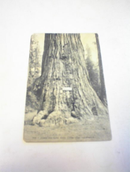 1910's Jumbo Big Tree,Near Santa Cruz,Cali