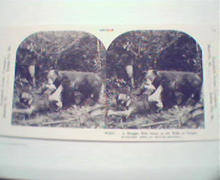 1970 Repro 1800-1900s-Struggle with Wild Bear in Photo!