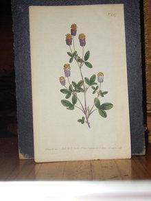 Curtis Hand Colored Botanical Print