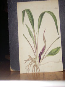 Curtis Hand Colored Botanical Print