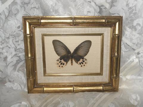 Shadow Box Butterfly from Malaysia