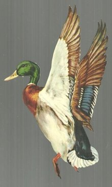 Vintage Cut Out of Mallard Duck in Flight