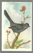 Victorian Trade Card for Arm and Hammer Useful Birds Red-Breasted Catbird #2