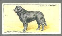 Vintage Wills' Cigarette Card with Newfoundland Dog #19