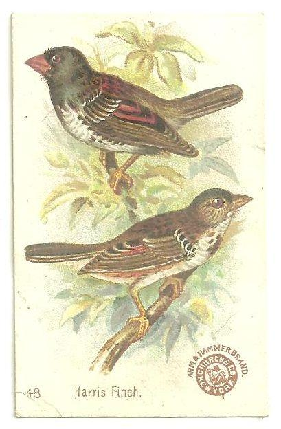 Victorian Trade Card for Arm and Hammer Beautiful Birds The Harris Finch #48