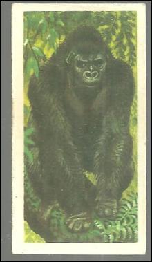 Vintage Brooke Bond Tea Card, London African Wild Life, Gorilla. #1 of Series