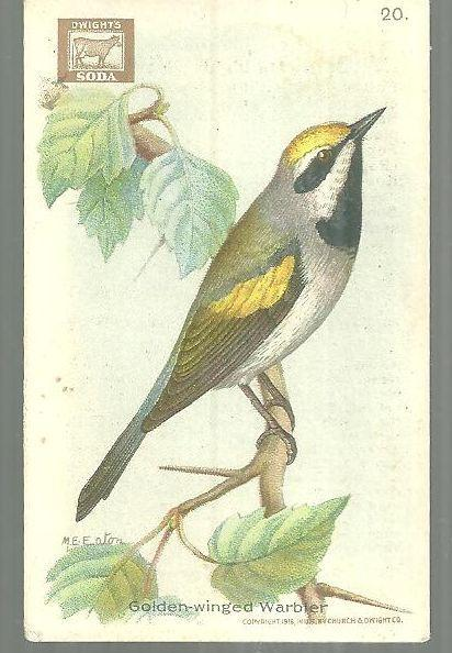 Victorian Trade Card Church and Dwight Cow Baking Soda Golden-Winged Warbler