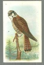 Victorian Trade Card for Arm and Hammer Useful Birds of America The Sparrow Hawk