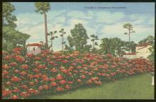 Vintage Unused Postcard of Florida's Gorgeous Poinsettias