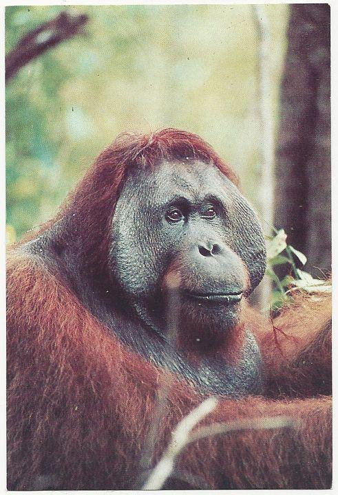 Unused Postcard of Orangutan in Tanjung Puting National Park, Indonesia