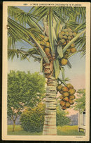 Postcard of A Tree Loaded with Cocoanuts in Florida