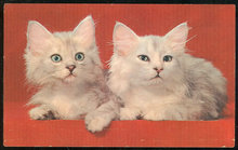 Postcard of Mr. and Mrs., Two White Fluffy Kittens