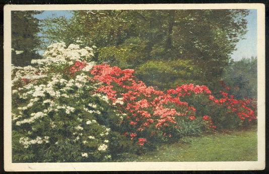 Postcard of Azaleas Missouri Botanical Garden St. Louis