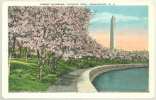 Postcard of Cherry Blossoms, Potomac Park Washington DC