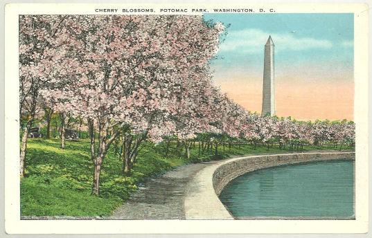 Postcard of Cherry Blossoms, Potomac Park Washington DC