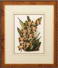 New Print Lucien Linden Reproduction Framed Flowers Plants Lindenia Orchi WA-327