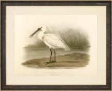 Large Reproduction Giclee Fine Art Spoonbill Bird, Orig Lithograph Ca 1881