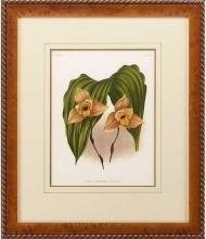 New Print Lucien Linden Reproduction Framed Flowers Plants Lindenia Orchi WA-339