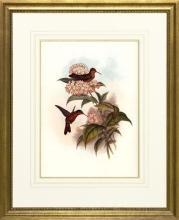 New Print Hullmandel and Walton Reproduction Framed Sealife Gould Humming WA-259