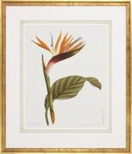 New Fine Art Giclee, Bird of Paradise Flower, Botanical Print, Reproduction