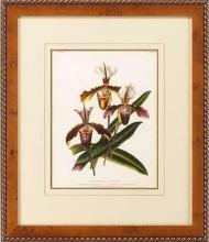 New Print Lucien Linden Reproduction Framed Flowers Plants Lindenia Orchi WA-333