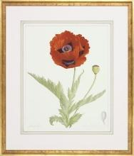 New Fine Art Botanical Print, Poppy Flower, James Linton Sain, Giclee, Framed