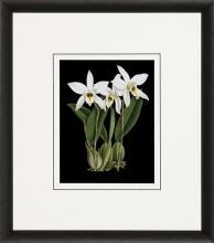 New Print Ignoto Fiammingo Reproduction Framed Flowers Plants Orchids on  WA-261