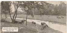 A Hershey herd in clover, Hershey Chocolate Co., Hershey,  PA black and white postcard