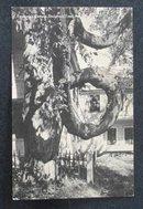 Fryeburg's Famous Doughnut Tree postcard