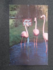 Florida's Silver Springs - flamingos  postcard