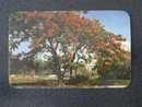 Florida's Royal Poinciana Tree, FL  postcard