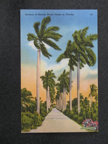 Avenue of Stately Royal Palms in Florida postcard