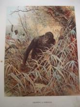 Antique Glossy Color Print Chassing a Gorilla