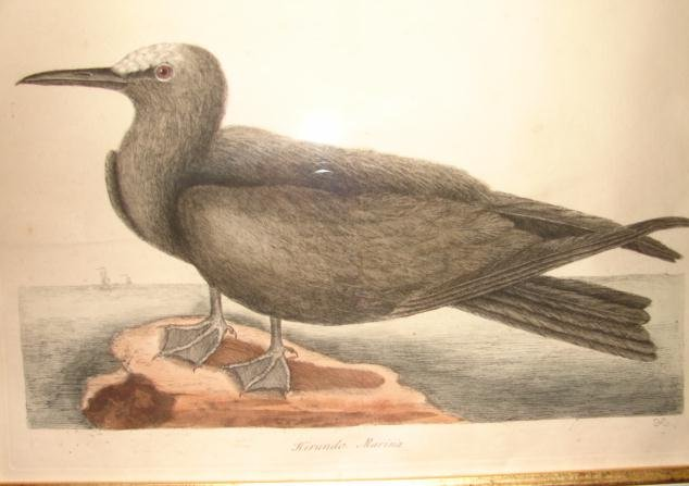 18TH CENTURY MARK CATESBY ENGRAVING