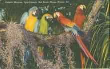 Vintage postcard, Colorful Macaws, Miami Florida