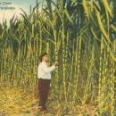 Vintage postcard, Sugar Cane, Florida Everglades, C.T. Art-Colortone