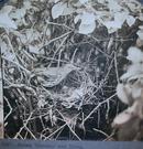 BIRD  STEREOVIEW OF BROWN TRASHER