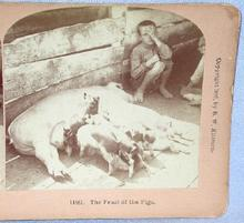 STEREOVIEW -  YOUNG BOY & HIS PIGS
