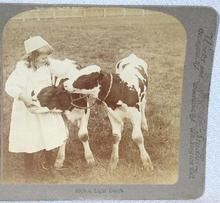STEREOVIEW - A GIRL AND HER CALVES
