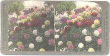 BEAUTIFUL HAND COLORED STEREOVIEW  -  CHRYSANTHEMUMS