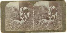 STEREOVIEW - LITTLE BOSSY - CALF  AND LITTLE GIRL
