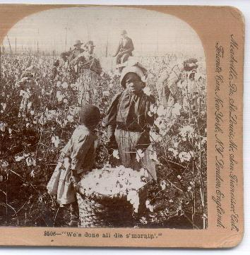 Stereo View of African Americans Picking Cotton in the Field