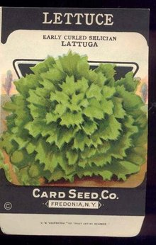 old vintage 1930s LETTUCE SEED PACKET ~ FREDONIA NY