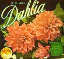 Sunkist Dahlia Crate Label