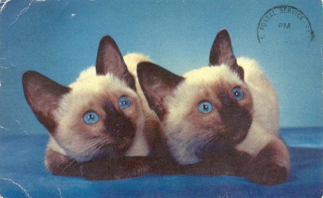 SIAMESE CAT POSTCARD ~ 1974 USED