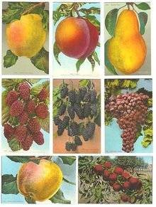 14 VINTAGE FRUIT POSTCARDS 1910 GRAPE APPLE