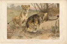 Lydekker Bookplate LION